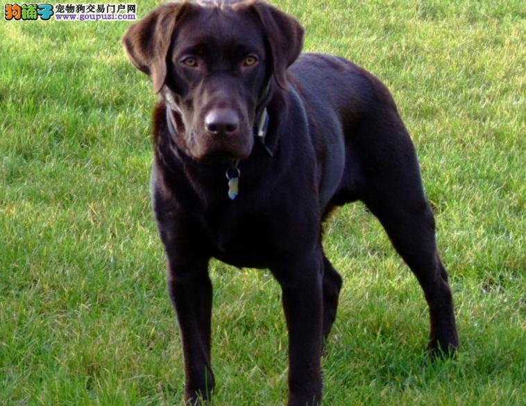 拉布拉多猎犬外形的挑选方法
