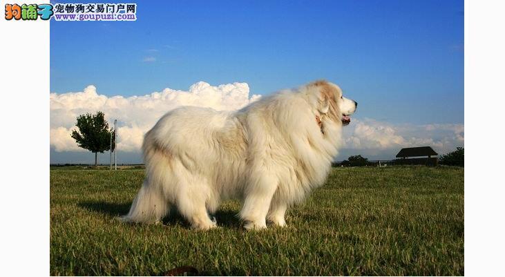 掌握选购大白熊犬的窍门 买到健康的大白熊犬