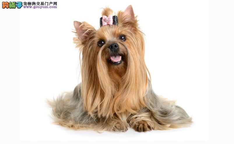 西施犬--典雅高贵如菊之花