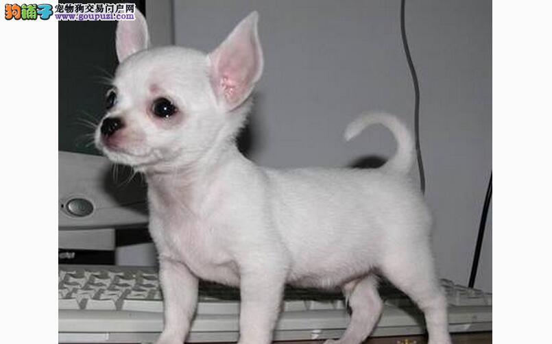 乖巧小型狗狗--吉娃娃
