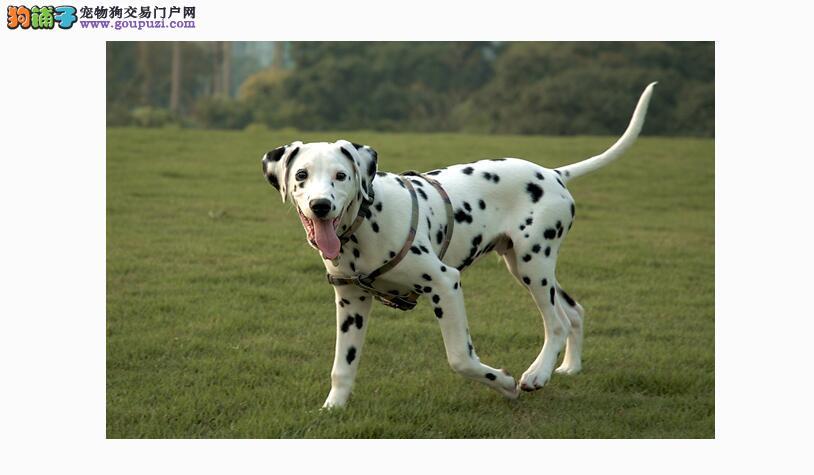 几个小地方 看出斑点狗异常情况