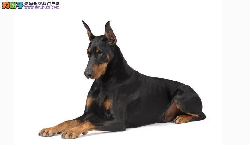 让杜宾犬成为有教养的狗狗10大原则5