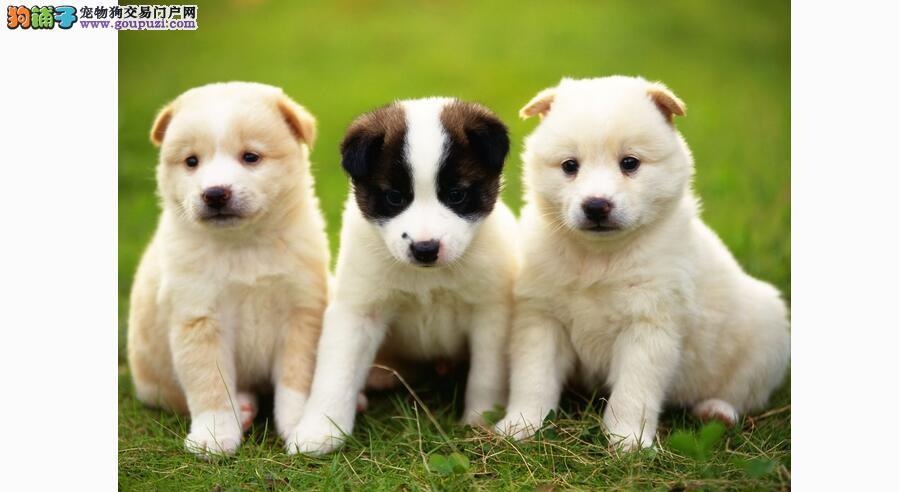 对于沙皮犬幼犬的喂养 一定要细心