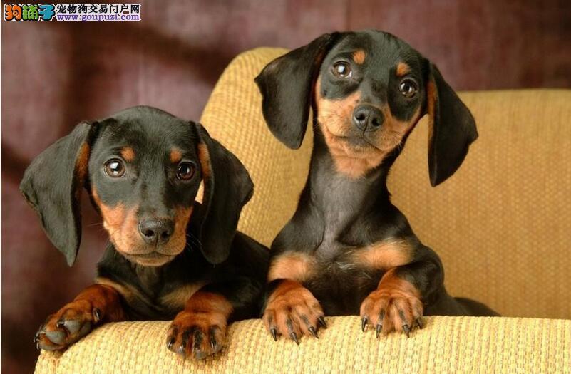 导致腊肠犬体味重的因素5