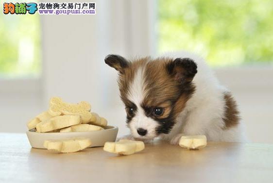 防止蝴蝶犬爬上饭桌的方法