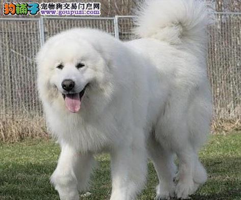 大白熊犬的训练方法,分阶段进行训练