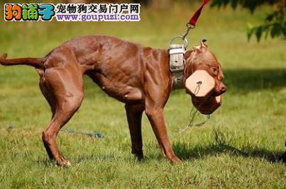 训练比特犬叼东西的方法