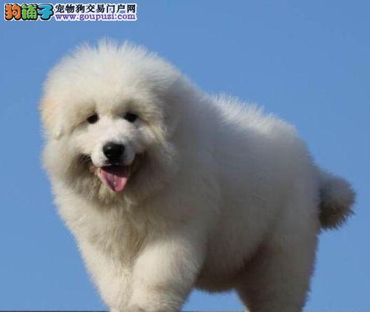 拥有健康好牙齿,正确的给大型犬大白熊刷牙