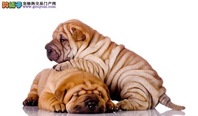 沙皮狗身上有腥味,防止沙皮犬接触异味
