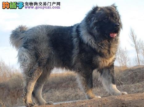 高加索犬患急慢性肝炎,食欲不振的治疗方法