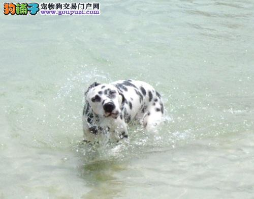 斑点狗游完泳这些工作更重要