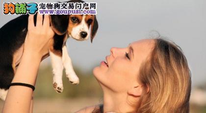 对比格犬表达爱意的方法