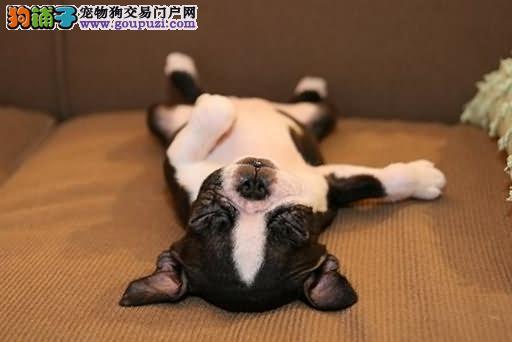 让斗牛犬狗狗睡好觉,睡眠品质健康加分