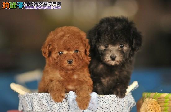 上海纯种茶杯犬泰迪幼犬出售各色纯种茶杯犬韩系玩具犬