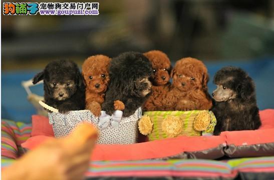 出售多只优秀的茶杯犬武汉可上门签署各项质保合同
