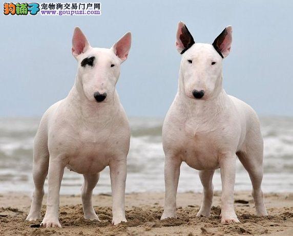 北京自家狗场繁殖直销牛头梗幼犬全国当天发货