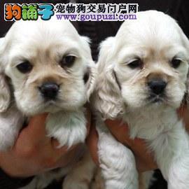 北京CKU认证犬舍出售高品质可卡实物拍摄直接视频