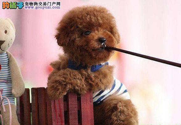 茶杯型贵宾犬可爱纯种,高智商漂亮乖巧 可上门挑选2