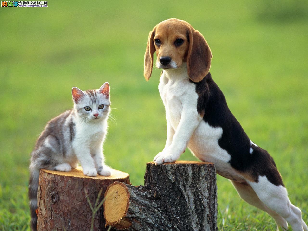 纯种比格犬,猎犬聪明可爱伴侣犬,健康保障
