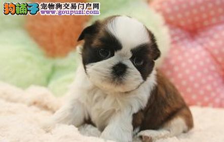 淮安家养三花西施犬幼犬出售 疫苗齐全包健康花色匀称