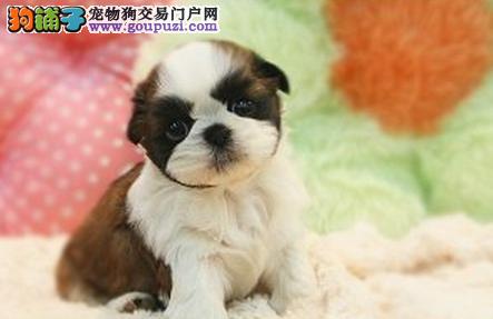广州售纯种小体西施幼犬颜色可选可以放茶杯里的西施犬