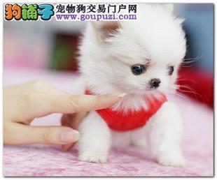 广州茶杯犬价钱多少钱一只 广州哪里有卖纯种茶杯犬