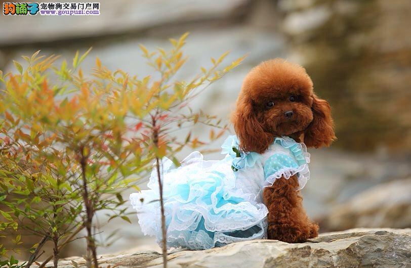 CKU认证体色齐全 不剃嘴毛修剪酷似玩具的泰迪幼犬
