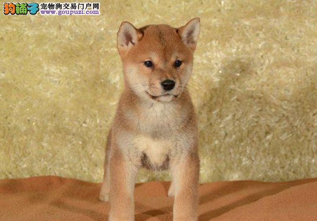 精品纯种柴犬,专业养殖幼犬出售 可视频选