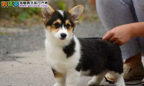 直销柯基幼犬,CKU认证品质,可送货上门