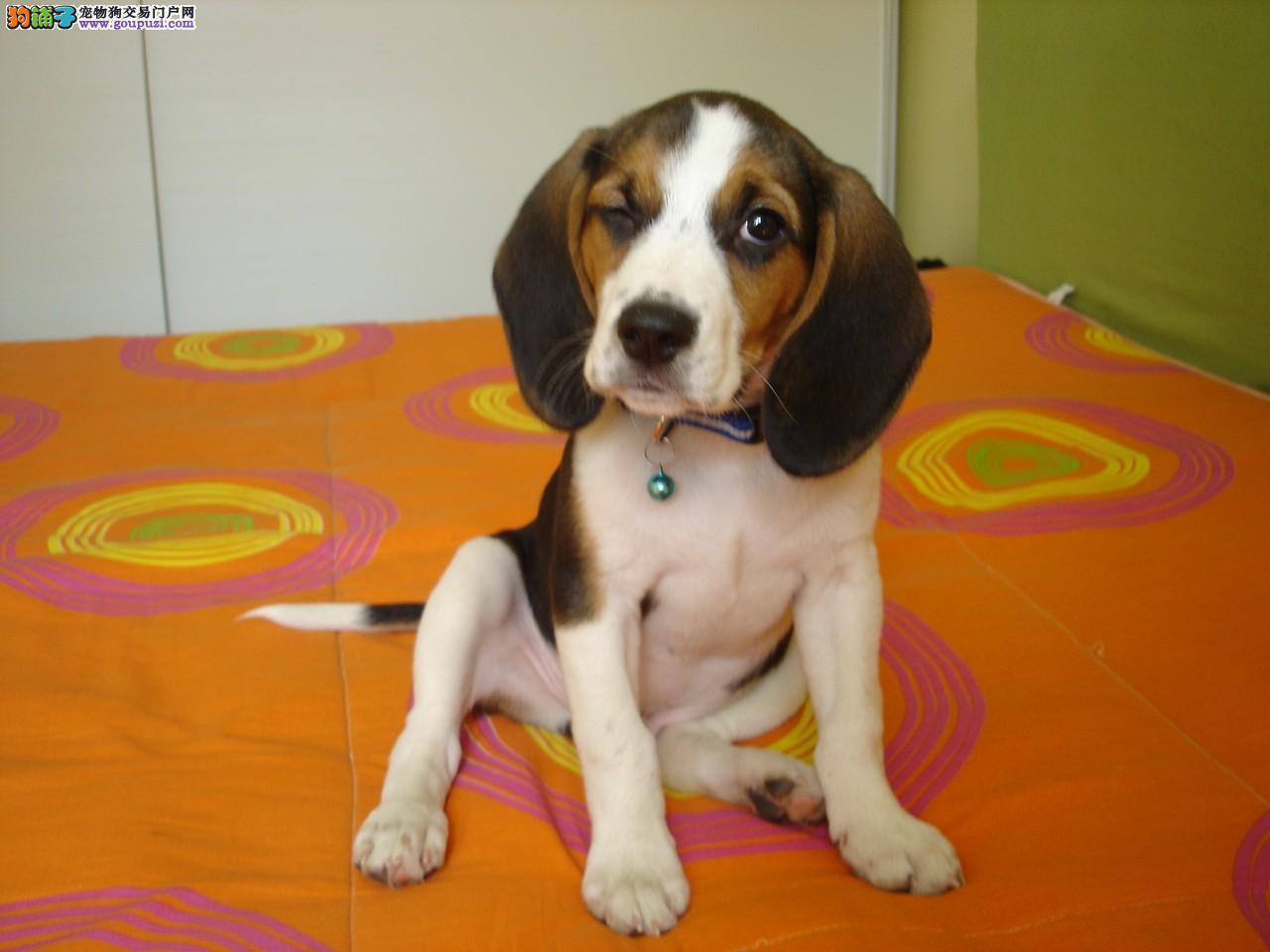 石家庄CKU认证犬舍出售高品质比格犬微信咨询看狗狗照片