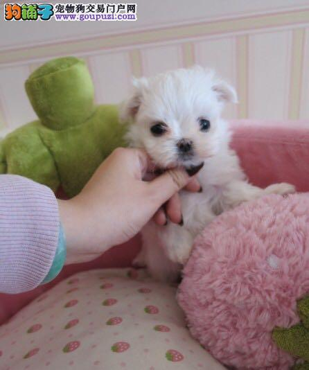 北京市西城区出售顶级纯血马尔济斯,可视频看狗