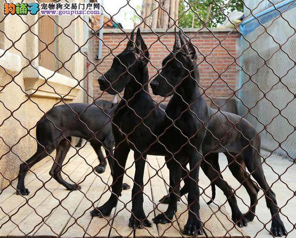长沙出售极品大丹犬幼犬完美品相价格美丽品质优良