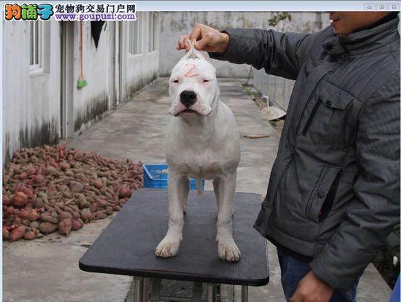 廊坊冠军血统杜高犬出售美系德系杜高犬现场挑选签协议