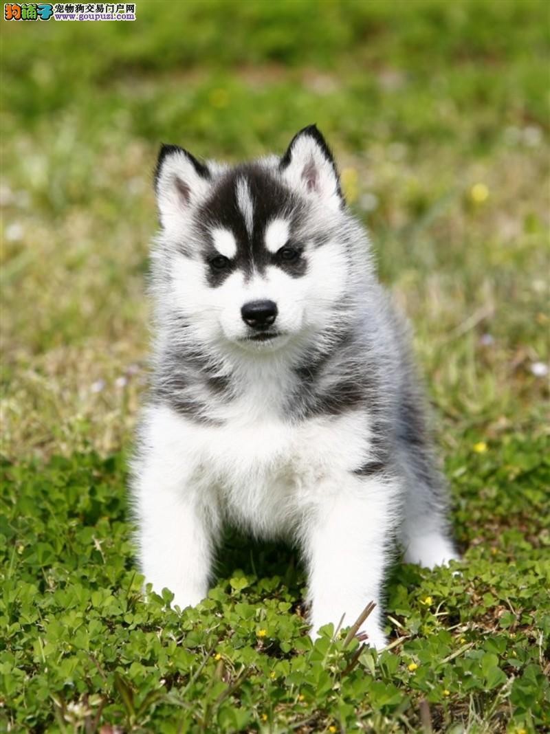 狗狗可以吃香椿吗?|吃香椿对狗狗身体有危害吗?