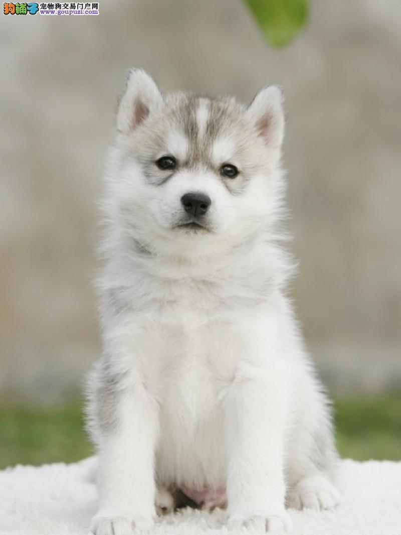 精品哈士奇幼犬出售 证书齐全 血统纯正 送用品签协议