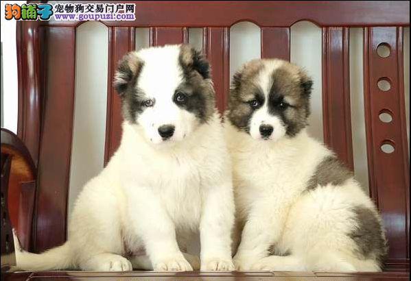 CKU认证犬舍 专业出售极品 中亚牧羊犬幼犬微信选狗直接视频