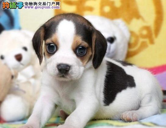 基地出售纯种 比格幼犬终身质保