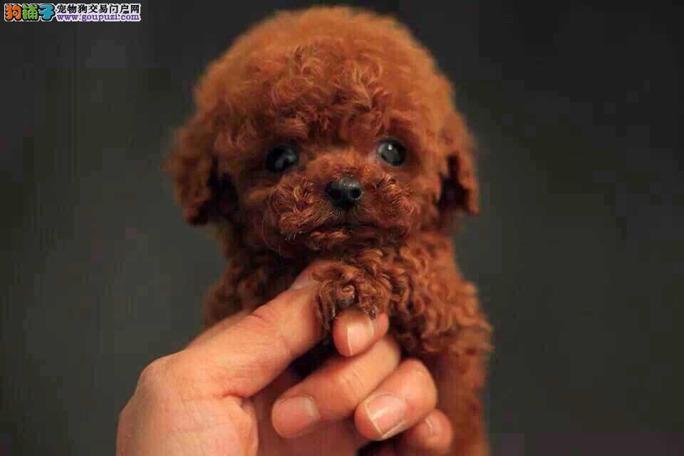 上海市出售泰迪犬幼犬 公母都有 可看视频 七天包退换