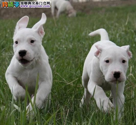 郑州自家繁殖杜高犬出售公母都有赛级品质血统保障
