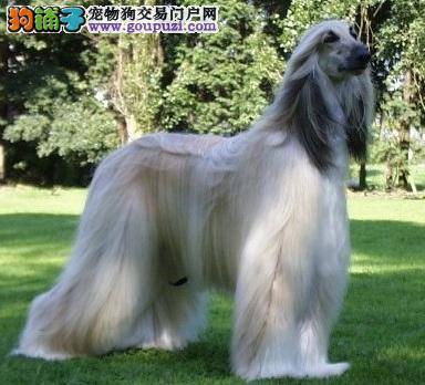 公母均有的阿富汗猎犬找爸爸妈妈质量三包完美售后1