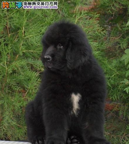 成都正规狗场犬舍直销纽芬兰犬幼犬欢迎上门选购价格公道图片