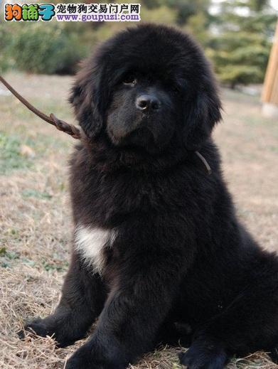 福州市出售纽芬兰犬 可视频看狗 可上门挑选 终身售后