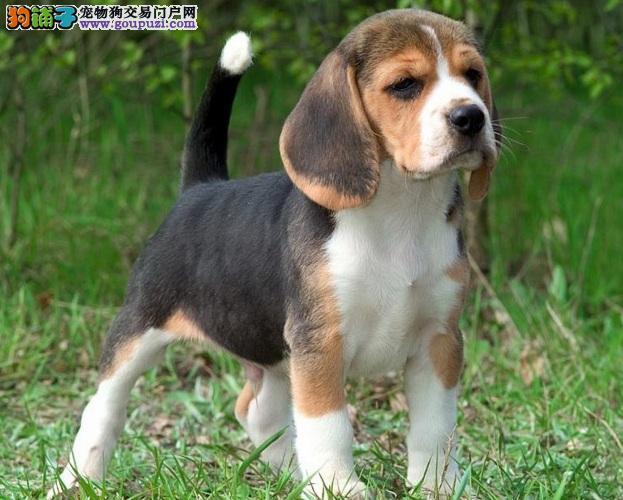 上海比格犬出售 哪里出售比格犬 比格犬价格