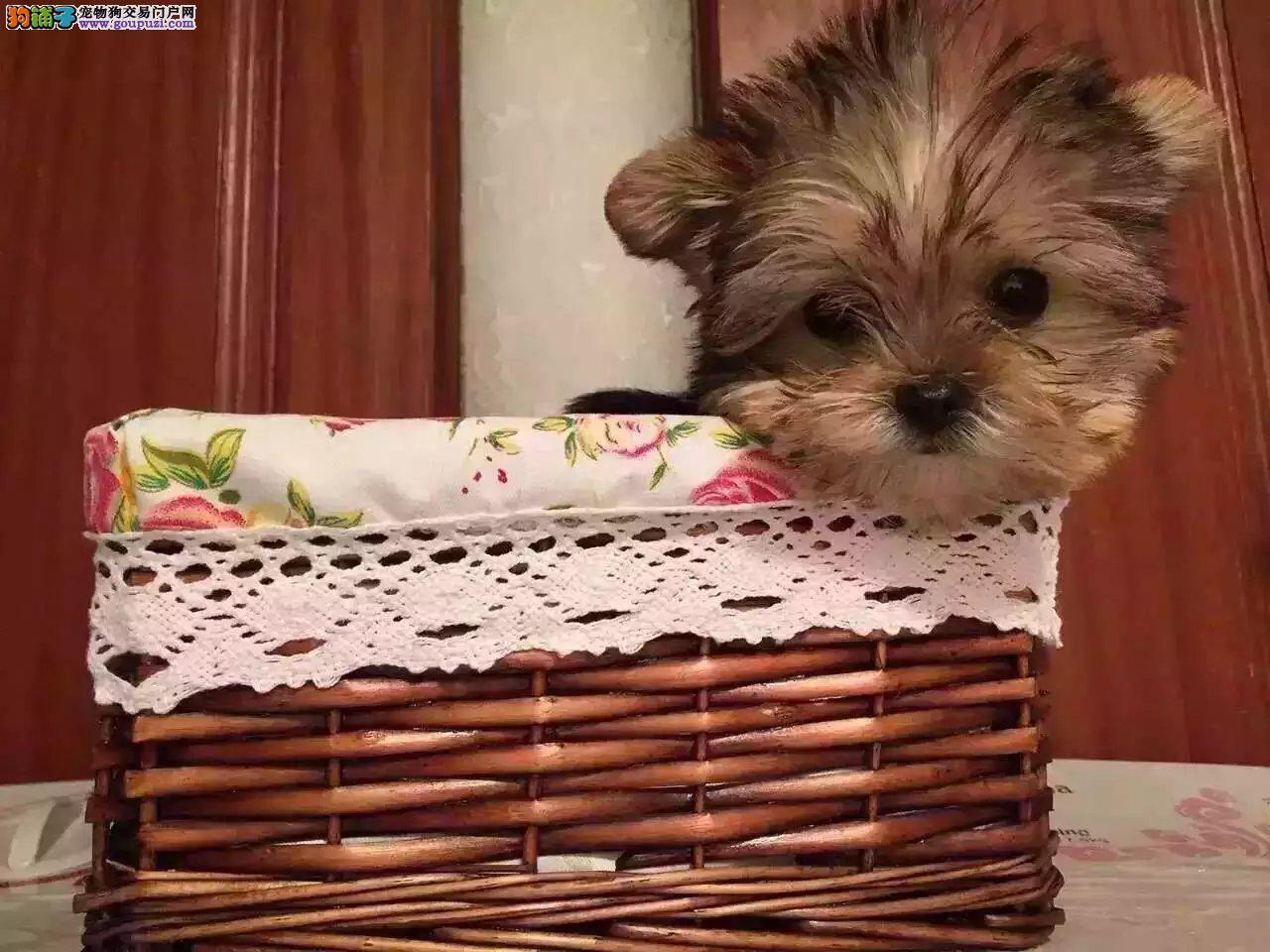 卖纯种约克夏幼犬 约克夏配种 保证品质