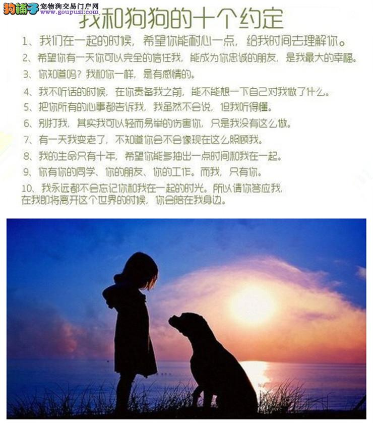 极品灰色红色泰迪犬CKU国际犬舍健康有保障可送货上门