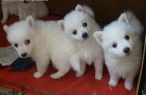 家养赛级银狐犬宝宝品质纯正我们承诺终身免费售后