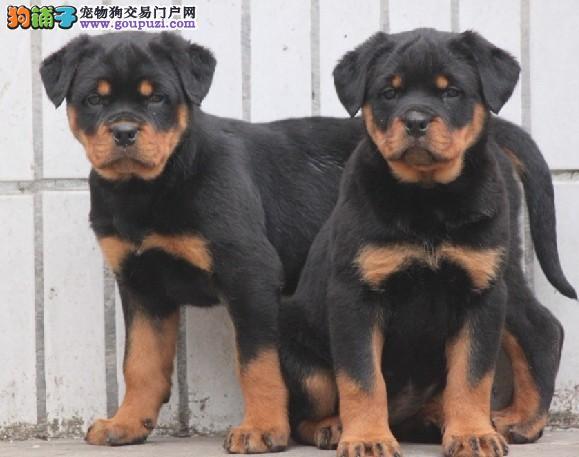 山东济南常年出售自家养纯种德系罗威纳幼犬~成犬~
