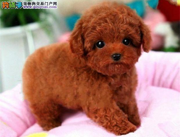 苏州繁育精品玩具体茶杯泰迪犬 可看父母 可签协议泰迪3