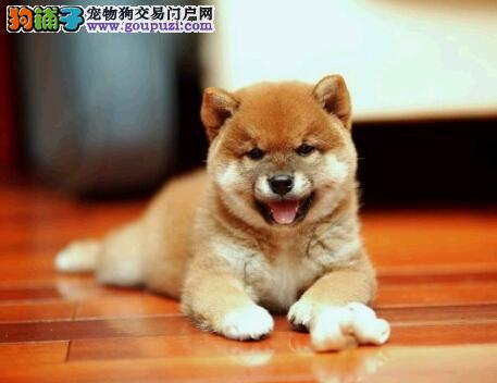 大兴安岭售日系柴犬幼犬 西巴犬幼犬三针齐可挑