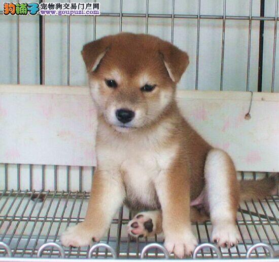 成都出售自家繁殖柴犬包健康纯种 柴犬幼犬转让出售